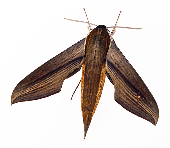 Moth ID - Xylophanes tersa