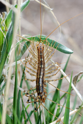 Unidentified Multi-legged Bug - Scutigera coleoptrata