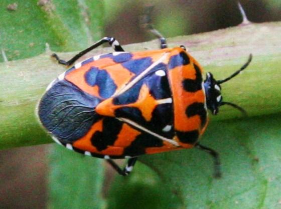 Harlequin Bug -  - Murgantia histrionica