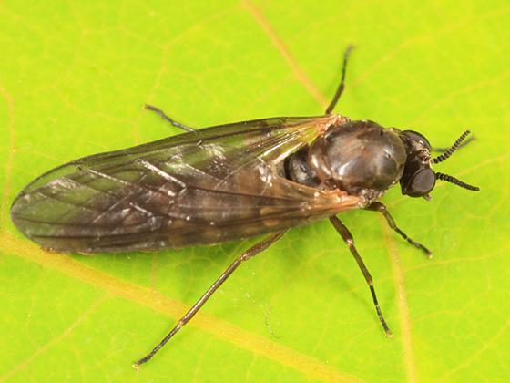 brown fly - Axymyia furcata - female