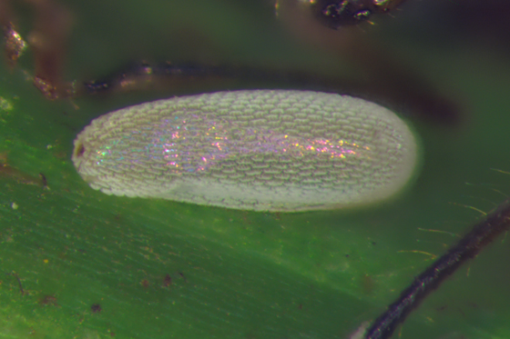 Syrphid egg