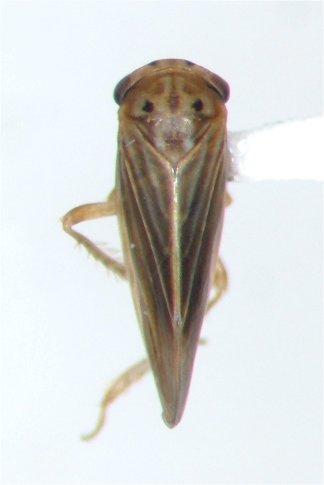 Cicadellid - Agallia constricta