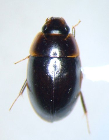 Enochrus blatchleyi - male