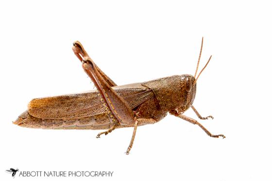 Acrididae - Schistocerca damnifica - female