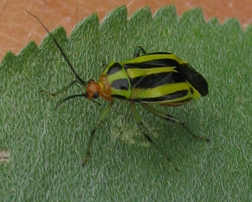 Black-and-yellow-striped beetle - Poecilocapsus lineatus