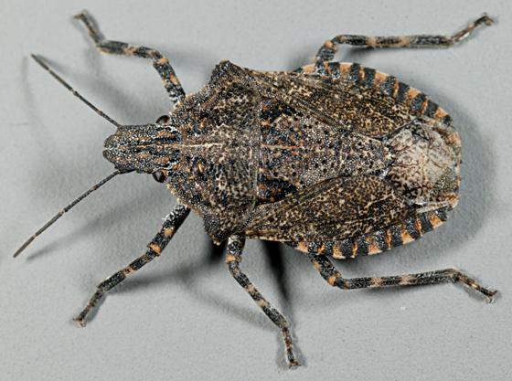 Utah-Pentatomid - Brochymena sulcata