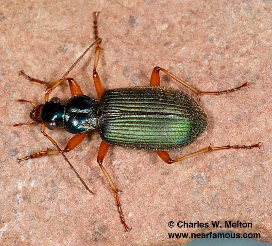 Chlaenius leucoscelis monachus - Chlaenius leucoscelis