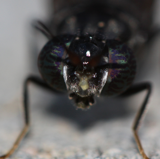 Black Soldier Fly, head  - Hermetia illucens
