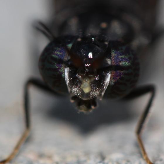 Black Soldier Fly, head  - Hermetia illucens