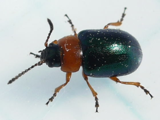 beetle - Gastrophysa polygoni