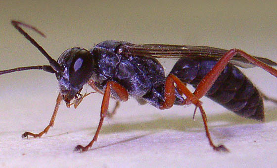 Spider Wasp - Auplopus mellipes