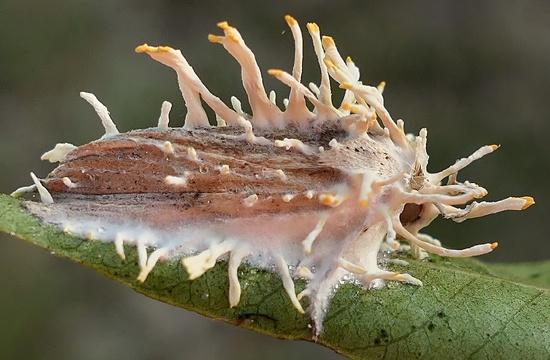 fungus-engulfed moth