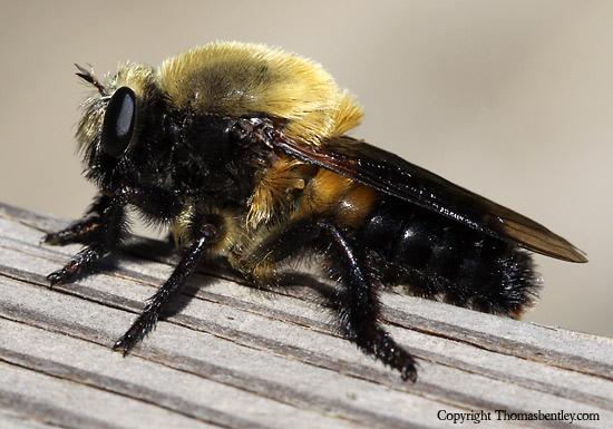 Laphria - Dasylechia atrox - male