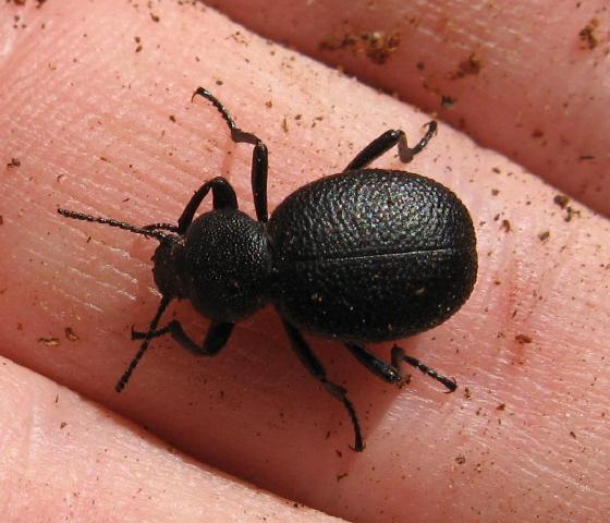 Tenebrionidae 03a - Eleodes