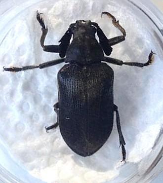Sandalus petrophya maybe?  - Sandalus niger