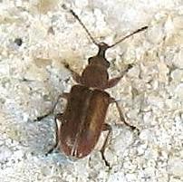 Beetle - Cimberis