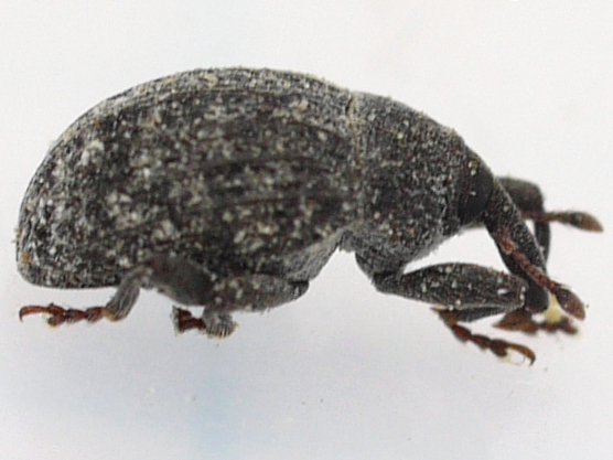 beetle - Rhyssomatus