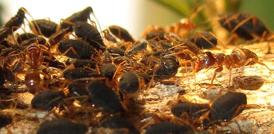 Ants and Aphids - Cinara hottesi - Cinara hottesi