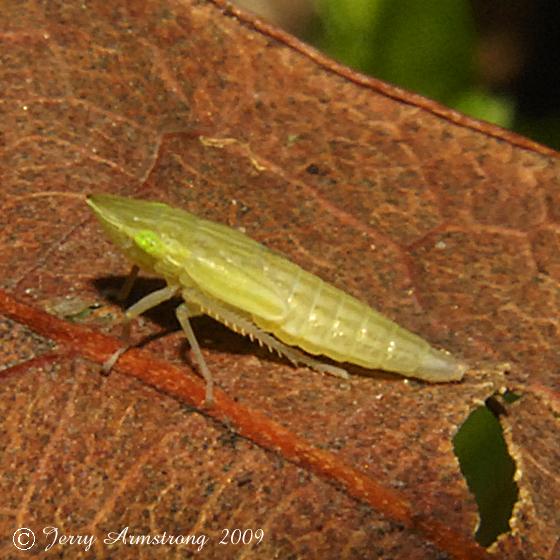 Sharpshooter nymph - Draeculacephala