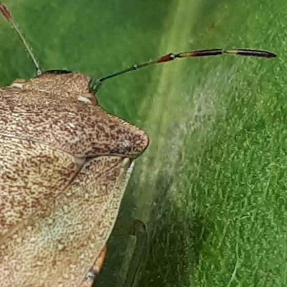 Heteroptera - Thyanta