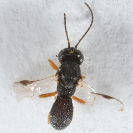bean weevil parasites - Urosigalphus - male
