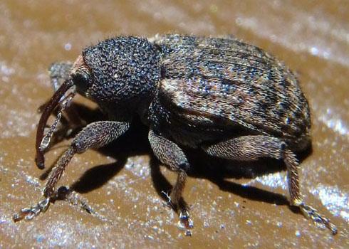 Weevil - Conotrachelus