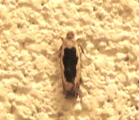 Moth - Tortrix or Filatima