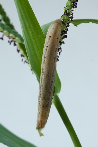 Day 21 -- Caterpillar A - Anicla infecta