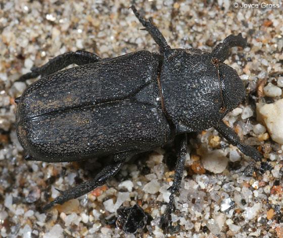 scarab - Cremastocheilus quadratus