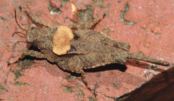 Pygmy Grasshopper - Tetrix arenosa