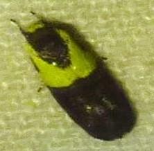 Rectiostoma xanthobasis - Yellow-vested Moth - Rectiostoma xanthobasis