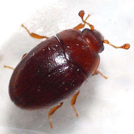 mystery beetle - Hypodacne punctata