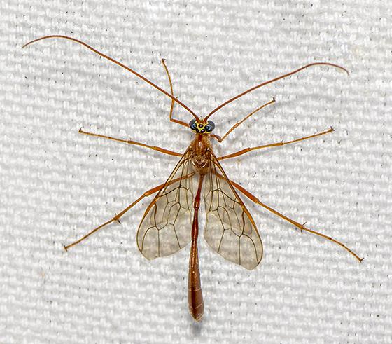 Ichneumonoidea ID request - Enicospilus