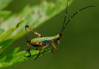 colorful insect - Scudderia