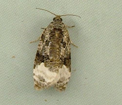 1569 Apotomis capreana - 2753 - Apotomis capreana
