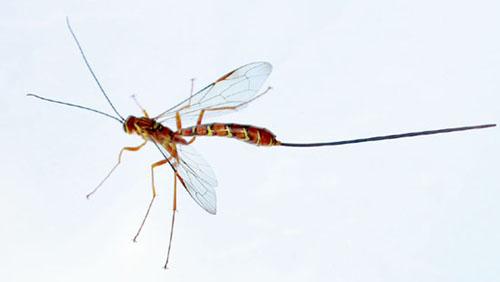 Ichneumon Wasps - Megarhyssa greenei - BugGuide.Net