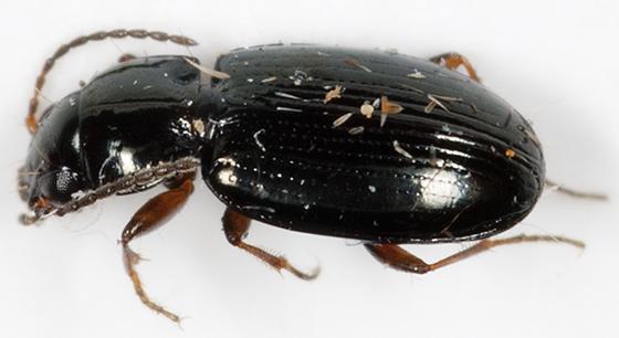Ground Beetle - Bembidion obtusum