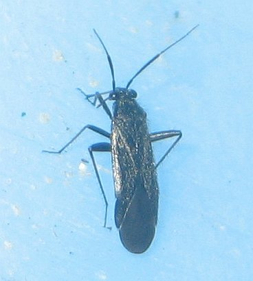 pale-speckled black plant bug - Orthocephalus coriaceus - male