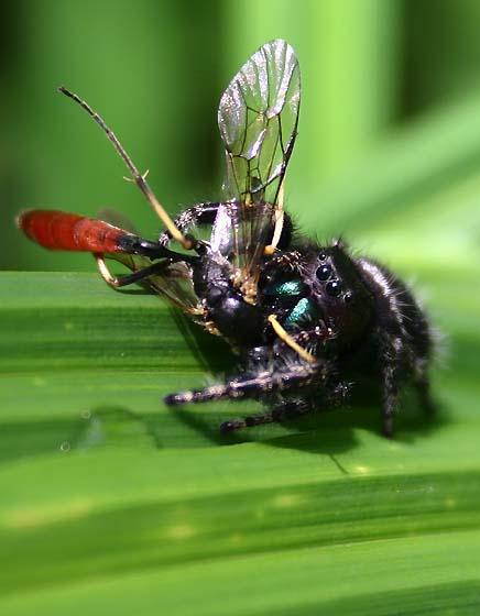 Bold Jumping Spider with Ichneumon Wasp - Phidippus audax