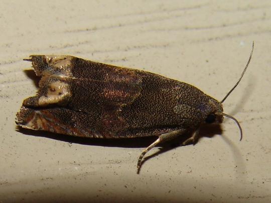 3172 -- Dotted Epiblema Moth? - Epiblema strenuana
