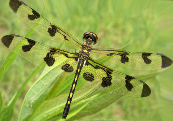 10th Dragon of the season - Celithemis fasciata - female