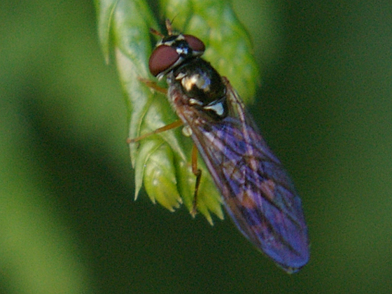 Syrphid Fly - Melanostoma mellinum - female