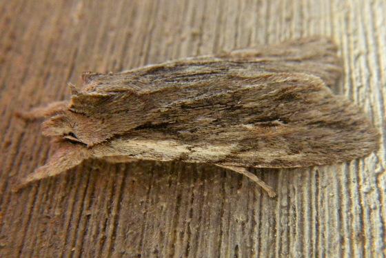 One of the Pinons? - Lithophane lemmeri