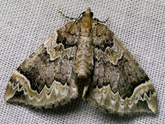 moth - Eulithis serrataria