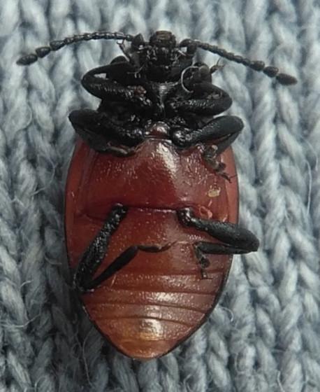 Endomychus biguttatus? - Endomychus biguttatus