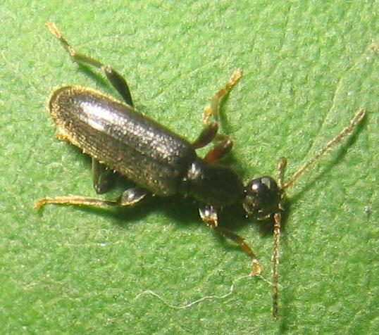 Beetle - Macratria confusa