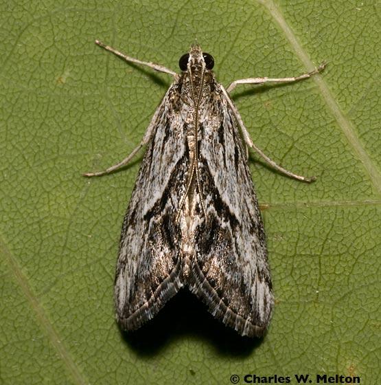 Moth - Evergestis simulatilis