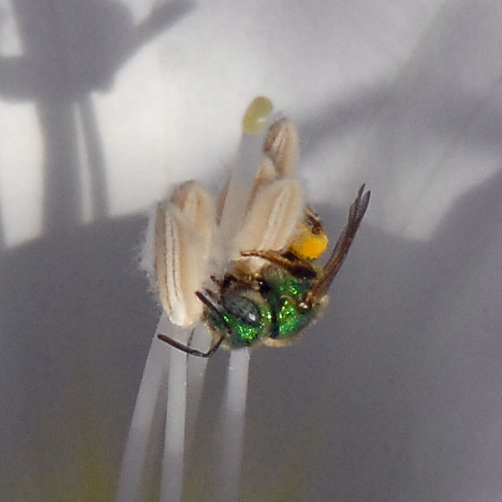 ID for a green bee on Datura? - Agapostemon