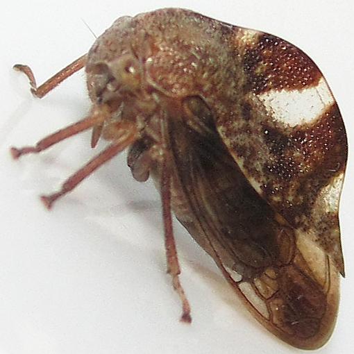 Treehopper - maybe Cyrtolobus - Cyrtolobus tuberosus