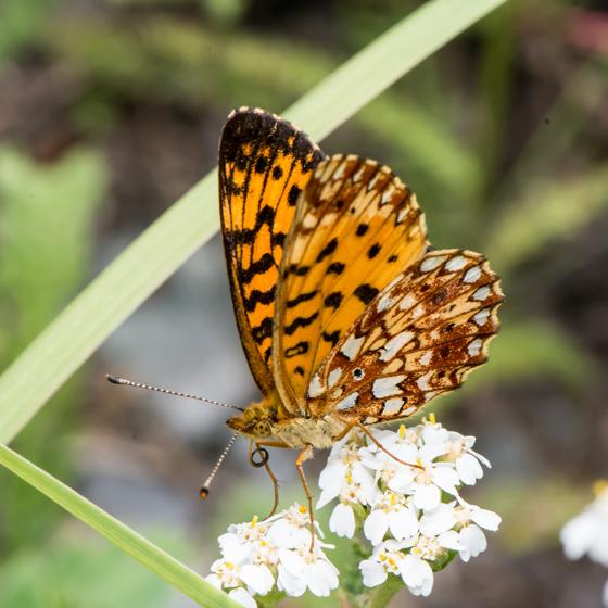 Unknown Butterfly - Boloria selene